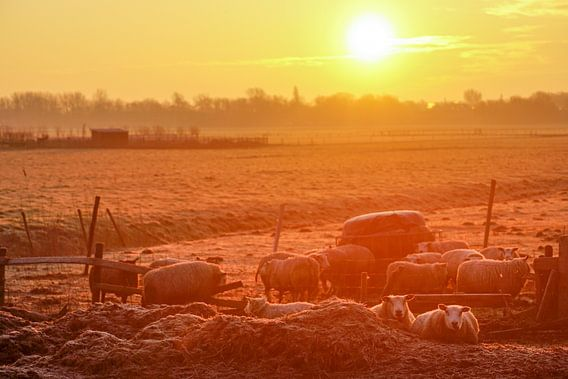 grazende schapen met zon op de achtergrond