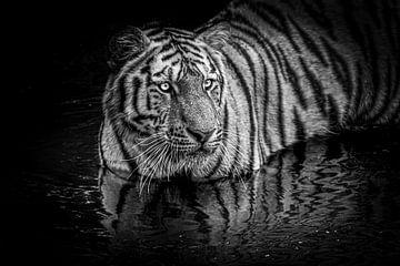 Sibirischer Tiger im Wasser von Daphne van Dam