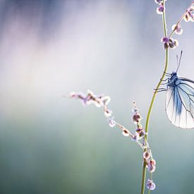 Groot Geaderd Witje Vlinder van Judith Borremans