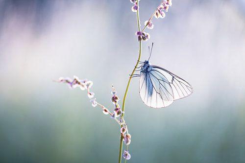 Groot Geaderd Witje Vlinder