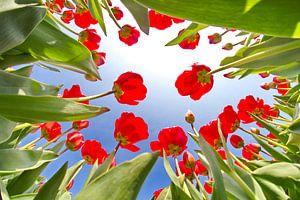 Tulpen vanaf de onderkant van