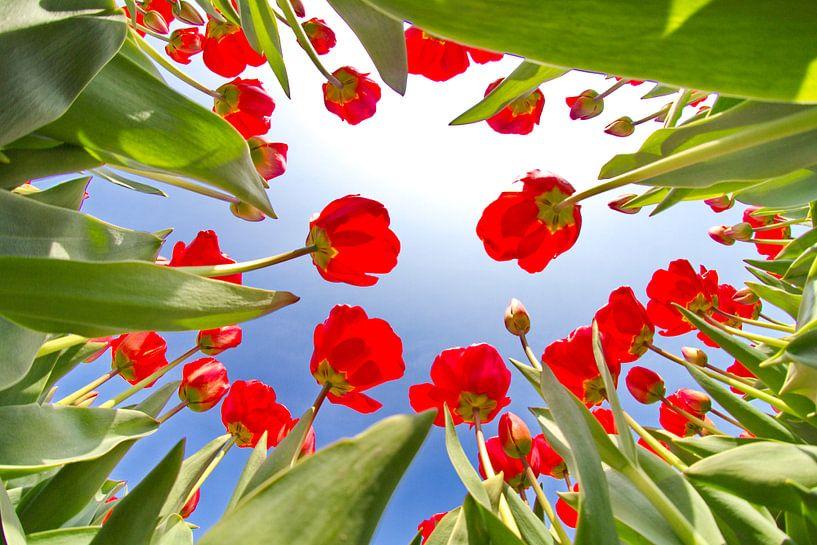 Tulpen vanaf de onderkant van Marcel Verheggen