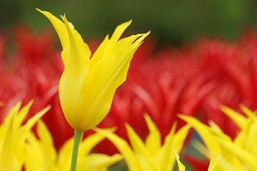 Gele en rode tulpen in de Keukenhof van Leontien van der Willik-de Jonge