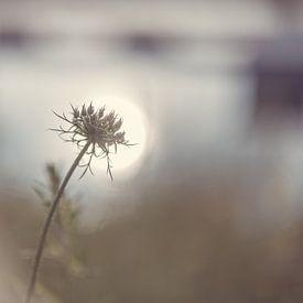 Daucus Carota im Sonnenlicht von Tania Perneel
