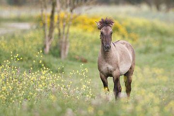 Konikpaard von Pim Leijen