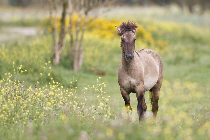 Konikpaard van Pim Leijen