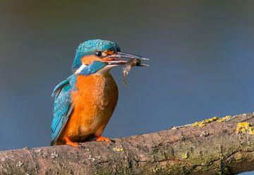 Ijsvogel met visje van Eelke Cooiman