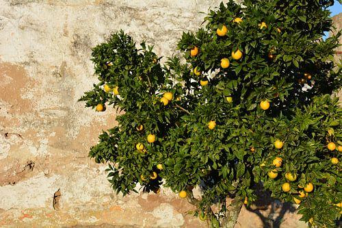 Citrusboom tegen oude muur Alentejo Portugal