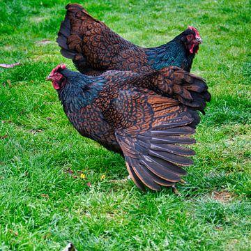 Doppelzüngiger Barnevelders, Huhn was haben Sie ein schönes braunes mit schwarzem Gefieder von J..M de Jong-Jansen