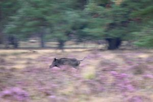Wildschwein läuft durch die lila Moore