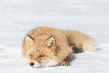 Le renard se repose sur la neige sur Sven Scraeyen