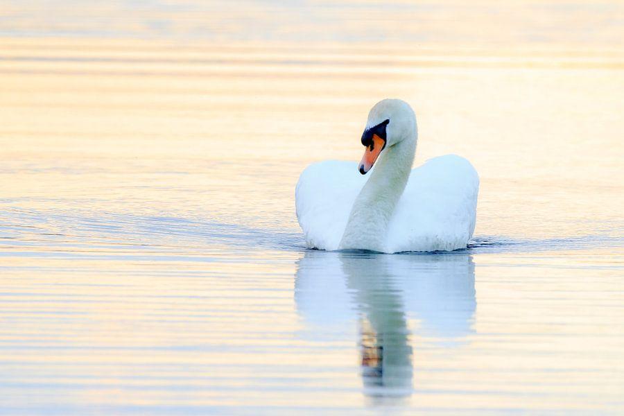 Zwaan tijdens zonsondergang van Dennis van de Water