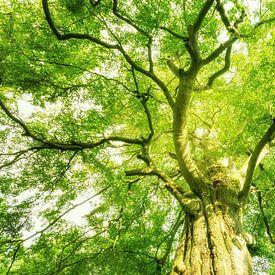 Gigantische Baumkrone von Oliver Henze