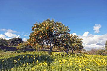 Orangenbaum an der Algarve Portugal im Frühling von Nisangha Masselink