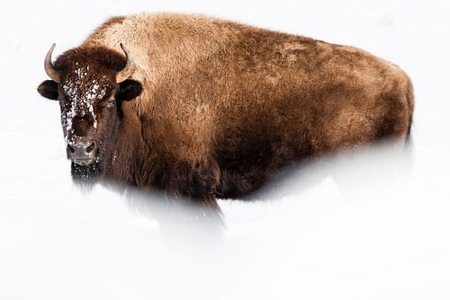 Amerikaanse bizon van