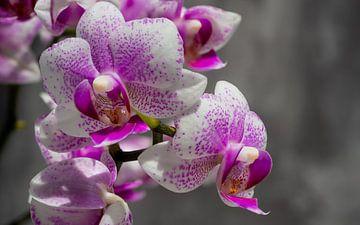 Roze orchidee van Stijn Cleynhens