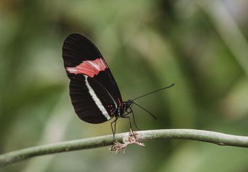 Schwarzer und roter Schmetterling auf Zweig von Anke Kaal