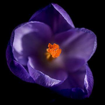 Lila Krokus in Blüte von A.M. de Jong