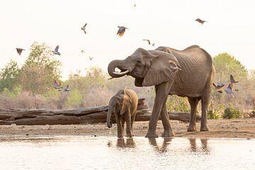 Drinkende olifanten, omringd door duiven van Anja Brouwer Fotografie