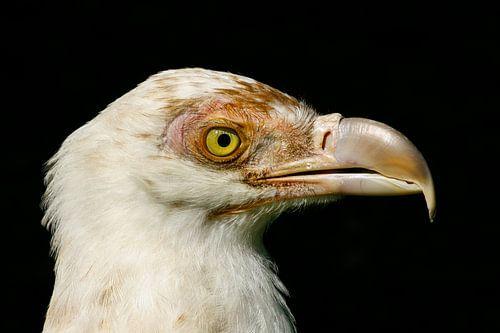 Portret witte gier. van