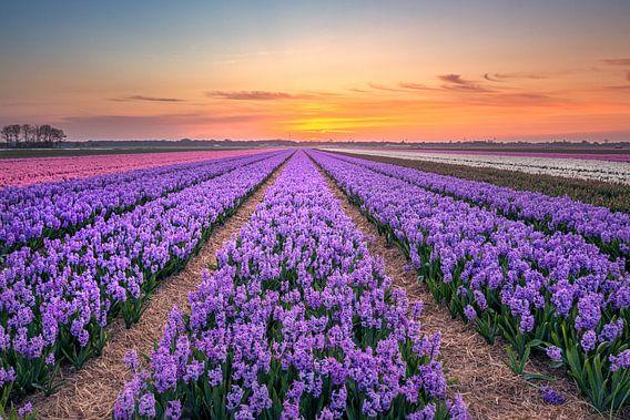 Hyacinthen van Stuart Dayus