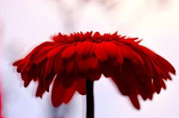 Abstracte achtergrond met rode gerbera van Klik! Images