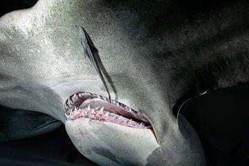 Großer Hammerhai von Ramon Stijnen