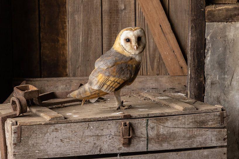 Schleiereule, Tyto alba von Gert Hilbink
