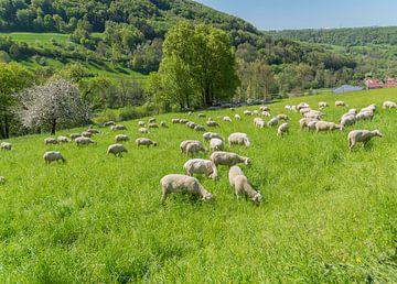 Schafherde im Frühling von Achim Prill