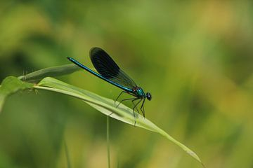 Blauwe Libelle van Roberto Zea Groenland-Vogels