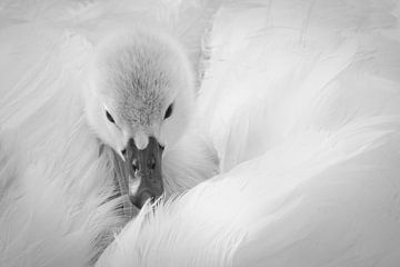 Jonge zwaan. von Karin Tebes
