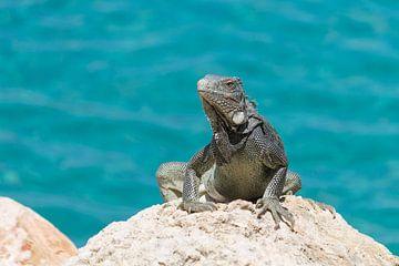 Leguaan aan het zonnebaden op een rots in Curacao van Joost Winkens