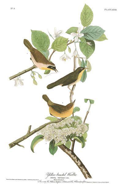 Geelborstboszanger van Birds of America