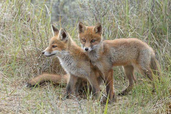 twee jongen vossen