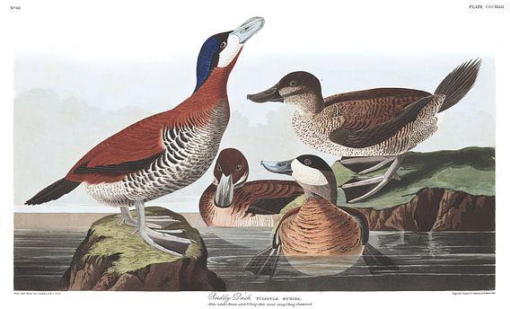 Rosse Stekelstaart van Birds of America