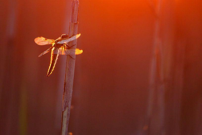 Dragonfly von Pim Leijen