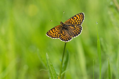 bovenkant veldparelmoervlinder