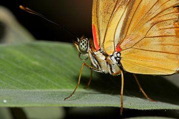 Oranje Passiebloem vlinder (Dryas Julia) sur Antwan Janssen