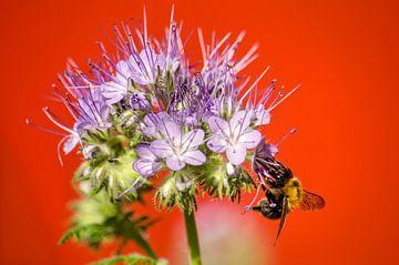 Phacelia und die Biene von Frans Blok