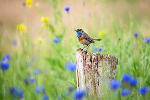 Blauwborst in de lente van Caroline van der Vecht