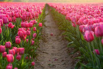 Tulpenveld tijdens de zonsondergang van Michel Knikker