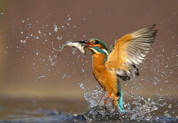 Common Kingfisher (Alcedo atthis) taking off with fish sur AGAMI Photo Agency
