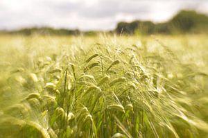 Graanvelden van