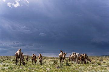 Kamele in der Mongolei von Daan Kloeg