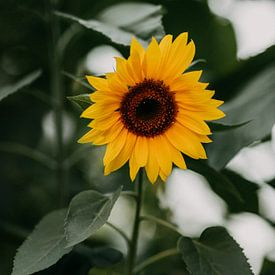 Zonnebloem, prachtige zomerse gele bloem met een groene achtergrond | foto print | fotografie van Yvette Baur