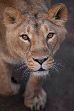 La lionne te regarde sur Michael Semenov