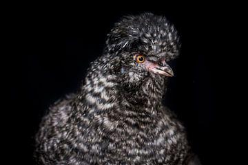 Portret kip, chicken portrait van Corrine Ponsen