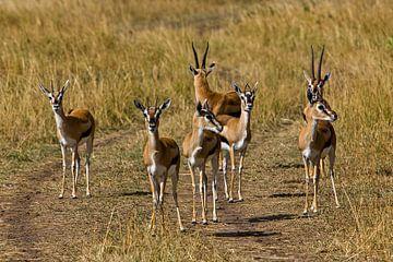 Thompson's gazelles van Peter Michel