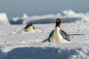 Keizerspinguin op ijsschots Antarctica