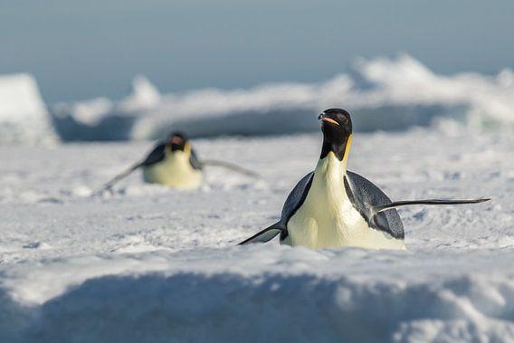 Keizerspinguin op ijsschots Antarctica van Eefke Smets